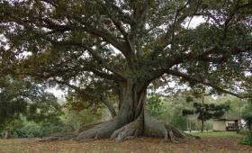 Pewien człowiek miał drzewo figowe