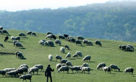 dlatego, że jest najemnikiem i nie zależy mu na owcach