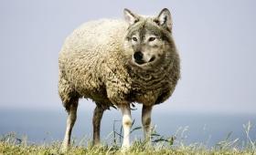 przychodzą do was w owczej skórze, a wewnątrz są drapieżnymi wilkami