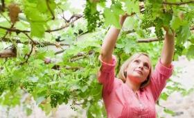 Każdą latorośl, która przynosi owoc, oczyszcza…