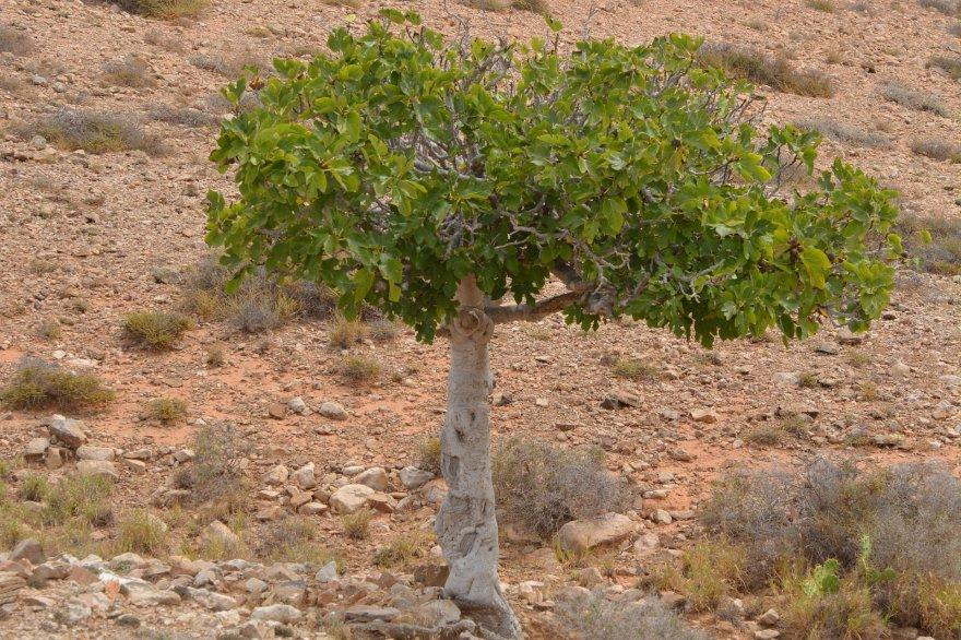 Patrzcie na drzewo figowe i na inne drzewa